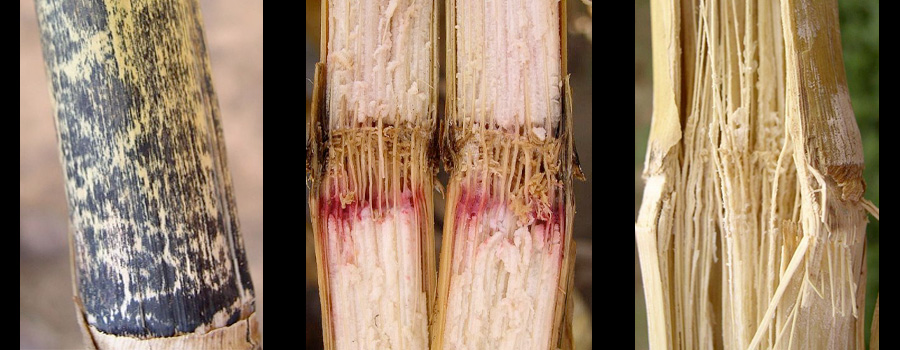 Watch for Stalk Rot This Fall