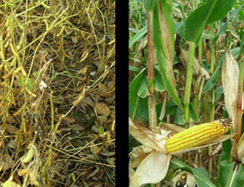 Agronomy Updates From The Field – 10/5
