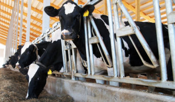 buchneri-cow